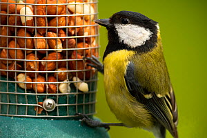 Great tit (Parus major) on garden peanut feeder, Somerset, UK, April.  -  Warwick Sloss