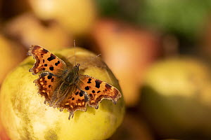 Comma butterfly (Polygonia c-album) feeding on windfall apples. Cornwall, England, UK. October.  -  Ross Hoddinott