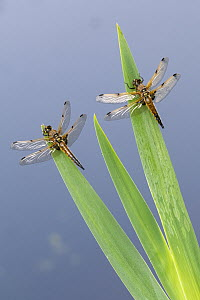 Four-spotted chaser dragonfly (Libellula quadrimaculata), two resting on reeds. Cornwall, England, UK. May.  -  Ross Hoddinott