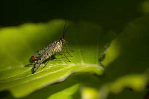 Scorpion fly (Panorpa sp) male basking on Beech (Fagus sylvatica) leaf in dappled light. Cornwall, England, UK. May.  -  Ross Hoddinott
