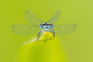 Azure damselfly (Coenagrion puella) resting on leaf. Cornwall, England, UK. July.  -  Ross Hoddinott