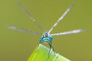 RF - Common blue damselfly (Enallagma cyathigerum) portrait. Cornwall, England, UK. May. (This image may be licensed either as rights managed or royalty free.)  -  Ross Hoddinott