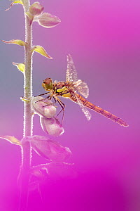 RF - Common darter dragonfly (Sympetrum striolatum) resting on Foxglove (Digitalis purpurea) with dew droplets on wings. Cornwall, England, UK. June. (This image may be licensed either as rights manag...  -  Ross Hoddinott
