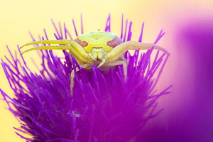 RF - Crab spider (Misumena vatia) waiting for prey on Meadow thistle (Cirsium dissectum) flower. Dunsdon Devon Wildlife Trust Reserve, England, UK. June. (This image may be licensed either as rights m...  -  Ross Hoddinott