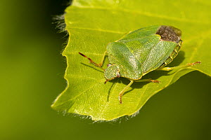 RF - Green shield bug (Palomena prasina) on Beech (Fagus sylvatica) leaf. Cornwall, England, UK. May. (This image may be licensed either as rights managed or royalty free.)  -  Ross Hoddinott