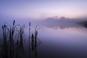 RF - Reedmace (Typha latifolia) silhouetted and reflected in lake at dawn. Lower Tamar Lakes, Cornwall, England, UK. November 2020. (This image may be licensed either as rights managed or royalty free...  -  Ross Hoddinott