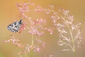 RF - Marbled white butterfly (Melanargia galathea), roosting on dew covered Bent grass (Agrostis sp) at dawn. Devon, England, UK. July. (This image may be licensed either as rights managed or royalty...  -  Ross Hoddinott