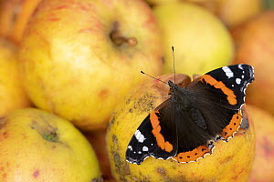 RF - Red admiral butterfly (Vanessa atalanta) feeding on rotten apples. Cornwall, England, UK. October. (This image may be licensed either as rights managed or royalty free.)  -  Ross Hoddinott