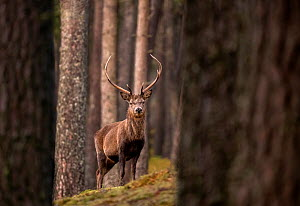 RF - Red deer (Cervus elaphus) stag standing amongst Scot's pine (Pinus sylvestris) tree trunks in forest. Cairngorms National Park, Scotland, UK. January. (This image may be licensed either as ri...  -  Ross Hoddinott