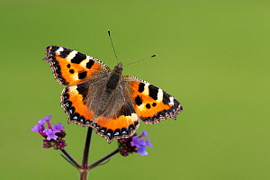 RF - Small tortoiseshell butterfly (Aglais urticae) nectaring on Verbena (Verbena sp). Cornwall, England, UK. September. (This image may be licensed either as rights managed or royalty free.)  -  Ross Hoddinott