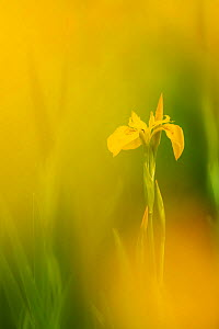 RF - Yellow flag iris (Iris pseudacorus). Cornwall, England, UK. May. (This image may be licensed either as rights managed or royalty free.)  -  Ross Hoddinott
