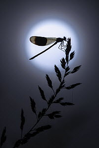 RF - Banded demoiselle damselfly (Calopteryx splendens) male roosting on grass panicle, silhouetted at night against full moon. Cornwall, England, UK. July. (This image may be licensed either as right...  -  Ross Hoddinott