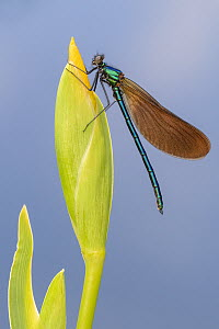 RF - Beautiful demoiselle damselfly (Calopteryx virgo) female resting on Yellow flag iris (Iris pseudacorus) bud. Cornwall, England, UK. May. (This image may be licensed either as rights managed or ro...  -  Ross Hoddinott