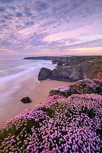 RF - Thrift (Armeria maritima) flowering on cliff top with beach below, at sunset. Bedruthan Steps, North Cornwall, England, UK. May 2019. (This image may be licensed either as rights managed or royal...  -  Ross Hoddinott