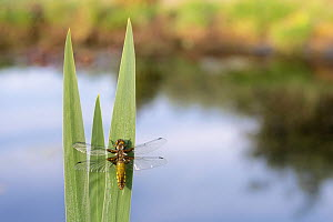 RF - Broad-bodied chaser dragonfly (Libellula depressa) resting on reeds at edge of garden pond. Broxwater, Cornwall, England, UK. April 2020. (This image may be licensed either as rights managed or r...  -  Ross Hoddinott