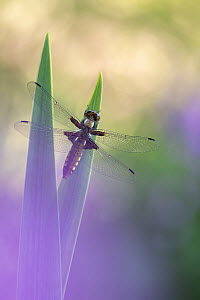 RF - Broad-bodied chaser dragonfly (Libellula depressa) resting on reeds. Cornwall, England, UK. May. (This image may be licensed either as rights managed or royalty free.)  -  Ross Hoddinott