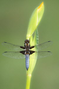 RF - Broad-bodied chaser dragonfly (Libellula depressa) male resting on Yellow flag iris (Iris pseudacorus) bud. Cornwall, England, UK. May. (This image may be licensed either as rights managed or roy...  -  Ross Hoddinott