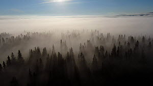 Aerial shot of morning fog over mountain forest, Golsfjell, Buskerud, Norway, July.  -  Pal Hermansen