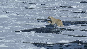 Female Polar bear (Ursus maritimus) with a radio collar for scientific tracking, walking across floating ice sheets and jumps across sea channel, Hornsund, South Spitsbergen National Park, Svalbard, N...  -  Pal Hermansen