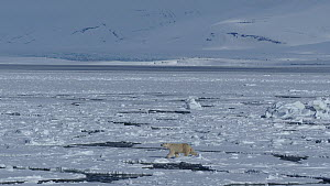 Female Polar bear (Ursus maritimus) with a radio collar for scientific tracking, walking across floating ice sheets, Hornsund, South Spitsbergen National Park, Svalbard, Norway, May.  -  Pal Hermansen