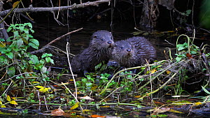 Two European otter (Lutra lutra) pups (approximately 12 weeks old) sitting in the shallows waiting for their mother to return before they both turn and dive into the water, River Stour, Dorset, UK, Oc...  -  Simon Littlejohn