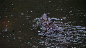 Adult female European otter (Lutra lutra) fishing with her two pups (approximately 12 weeks old) following her as she clambers out on to riverbank with a small fish to feed them, River Stour, Dorset,...  -  Simon Littlejohn