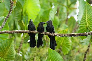 Smooth-billed ani (Crotophaga ani), three perched on branch in forest, adult feeding chick. Kaw-Roura Marshland National Nature Reserve, French Guiana.  -  Pascal Kobeh