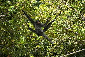 Red-faced spider monkey (Ateles paniscus) 'doing the splits' in forest. In Zoo de Guyane, French Guiana. Captive.  -  Pascal Kobeh