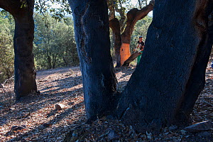 Man harvesting cork from Cork oak (Quercus suber) in Mediterranean forest, Spain. The cork is harvested every eight years.  -  Francisco Marquez