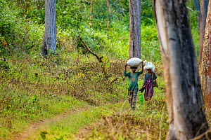 Local / tribal people collecting non-timber forest produce for commercial purposes, Kabini, India. Western Ghats, India  -  Sandesh  Kadur