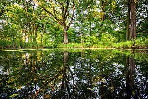 Spring forest reflected in lake, Wroclaw, Poland. May.  -  Mateusz Piesiak