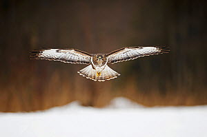 Common Buzzard (Buteo buteo) flying towards with wings spread out. Bialowiela National Park, Poland.  -  Mateusz Piesiak