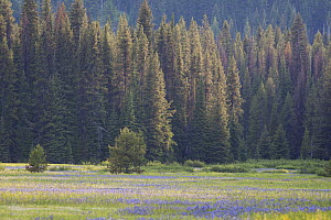 Summer meadow surrounded by forests in Montana, USA. July.  -  Mateusz Piesiak