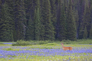 White-tailed Deer (Odocoileus virginianus) walking on the meadow surrounded by forests in Montana, USA. July.  -  Mateusz Piesiak