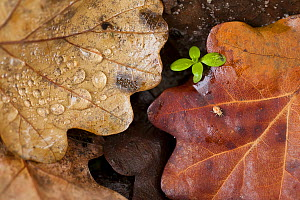 Oak leaves (Quercus robur) with unidentified spider and a plant seedling, photographed on a rainy autumn day. Barycz Valley Landscape Park, Poland, November..  -  Mateusz Piesiak