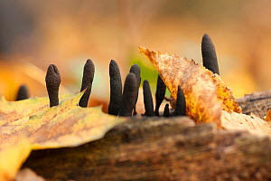 Slime molds (species not known) in autumn forest. Barycz Valley Landscape Park, Poland, November.  -  Mateusz Piesiak