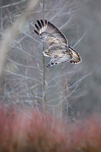 Common buzzard (Buteo buto) flying in the forest. Bialowiela National Park, Poland. January.  -  Mateusz Piesiak