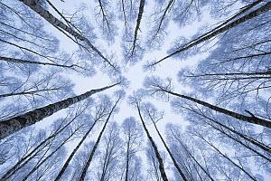 Wintery forest of Silver Birches (Betula pendula) photographed from below with a wide angle lens. Bialowiela National Park, Poland. January.  -  Mateusz Piesiak