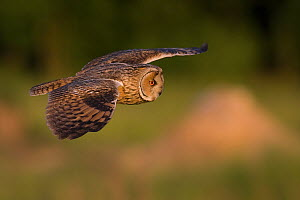 Long-eared owl (Asio otus) flying over the meadow near the forest, Dolny Slask, Poland. May.  -  Mateusz Piesiak