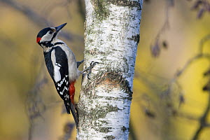 Great spotted woodpecker (Dendrocopos major) foraging on a birch in early spring. Wroclaw, Poland. March.  -  Mateusz Piesiak