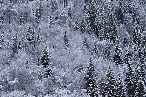 Winter forest covered in snow and frost, aerial view. Lofer, Austria. February.  -  Mateusz Piesiak