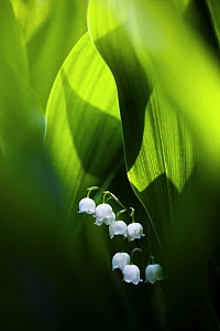 Lily of the valley (Convallaria majalis) hidden at the bottom of the forest in spring. Morning sun is lighting from behind. Biebrza National Park, Poland.  -  Mateusz Piesiak