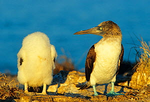 Blue footed booby (Sula nebouxii) watching chick, Isabel Island National Park, Sea of Cortez (Gulf of California) Mexico.  -  Claudio Contreras