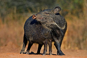 Collared peccaries (Tayassu tajacu) interacting, two looking like one, Hidalgo Lower Rio Grande Valley, Texas, USA. (non-ex)  -  David Welling