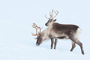 Two Reindeer (Rangifer tarandus) in snow, looking like a single double-headed animal, Norway. Captive  -  Edwin Giesbers