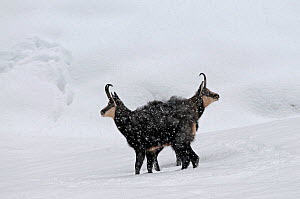 Two Chamois (Rupicapra rupicapra) in snow, Gran Paradiso National Park, Italy.  -  Eric Dragesco