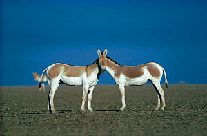 Two male Indian Wild Asses (Equus hemionus khur), looking like they share a single head, Little Rann of Kutch, Gujarat, SW India.  -  Dr. Gertrud Neumann-Denzau