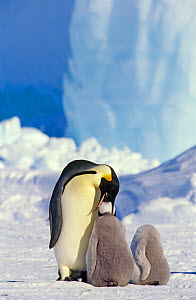 Emperor penguin (Aptenodytes forsteri) parent feeding chick, another chick next to it looks headless, Antarctica  -  Heather Angel