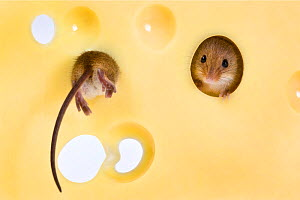 Two Harvest mice (Micromys minutus) investigating holes in Emmental cheese. Captive in studio.  -  Klein & Hubert