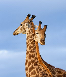 South African / Cape giraffe (Giraffa camelopardalis giraffa), two males necking / mock fighting, looking like a double headed animal, Zimanga Private Game Reserve, Zululand, South Africa.  -  Mary McDonald